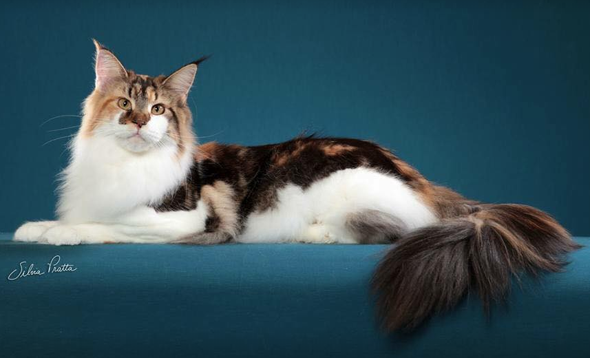 Gatil Beautiful to Live | Maine Coon