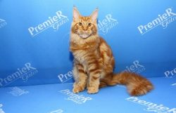 Maine Coon Campeao1024x6831