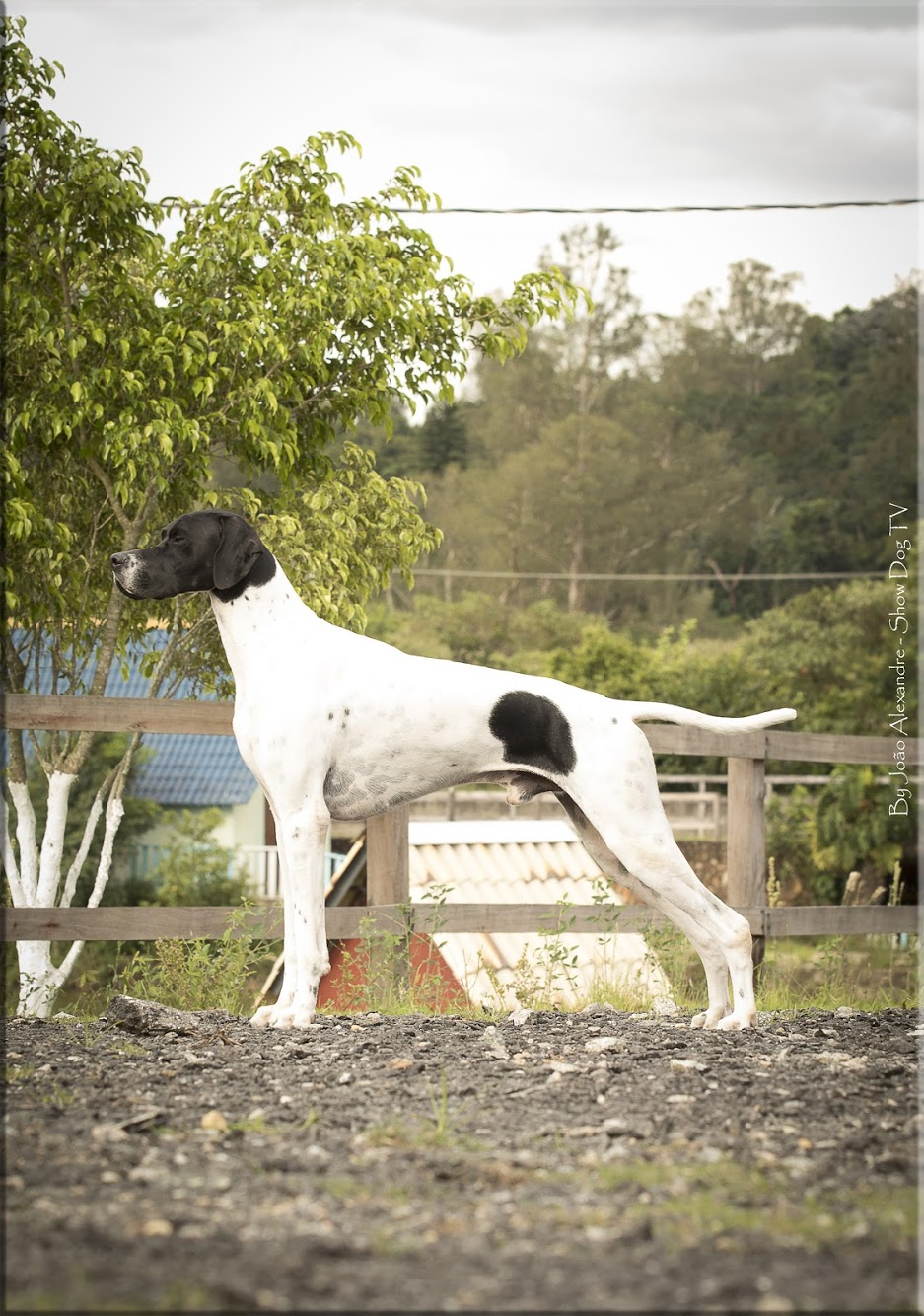 Everpoint Kennels | Pointer Inglês