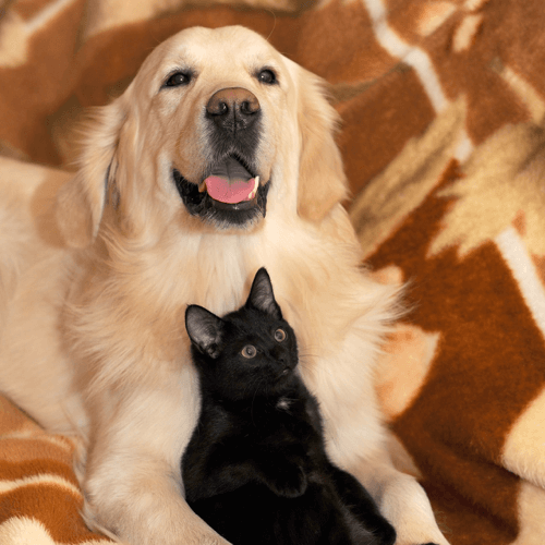 golden-retriever-cachorro-gato-preto